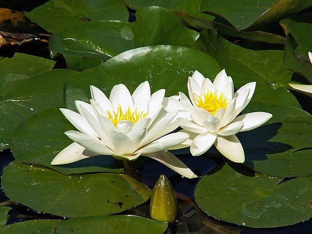 Vodná rastlina - lekno biele