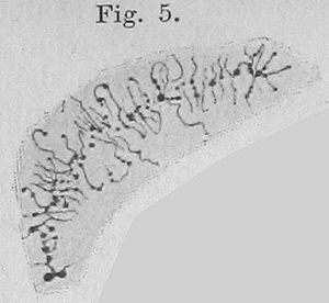 H. G. Callan - Lampbrush chromosome from the cell nucleus of an ovarial egg from Triton sp., a salamander.