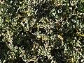 Obione portulacoides plante majoritaire des prés salés non broutés.jpg
