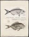 Oblata melanura - 1700-1880 - Print - Iconographia Zoologica - Special Collections University of Amsterdam - UBA01 IZ13100017.tif