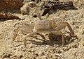 Ocypode quadrata, the Atlantic Ghost Crab (9051555410).jpg