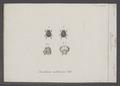 Odontaeus - Print - Iconographia Zoologica - Special Collections University of Amsterdam - UBAINV0274 019 13 0012.tif
