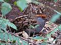 Odontophorus capueira -Parque Estadual da Serra da Cantareira, Sao Paulo, Brazil-8.jpg