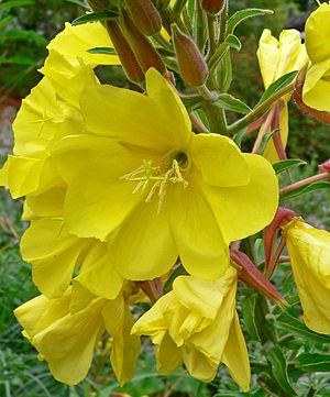 Oenothera elata - ssp. hookeri