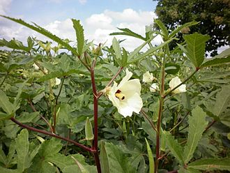 Okra - Whole plant with blossom and immature pod