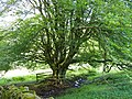 Old deciduous tree near car park above Kielder Castle - geograph.org.uk - 1442449.jpg