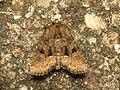 Oligia sp. (14066964070).jpg