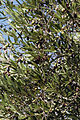 Olives (CAILLETIER) CL. J Weber (3) (22754160077).jpg