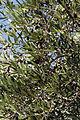 Olives (CAILLETIER) CL. J Weber (3) (22754160077).jpg