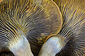 Omphalotus olivascens - Western Jack O'Lantern Mushroom (15889889109).jpg