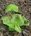 Onoclea sensibilis 4 crop.jpg