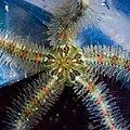 Ophiothrix spiculata (913).jpg