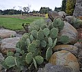 Opuntia cyclodes 1.jpg
