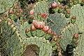 Opuntia engelmannii-Figuier de barbarie-20160427.jpg