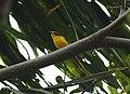 Orange Minivet Pericrocotus flammeus Silent Valley Kerala IMG 4896 (3).JPG