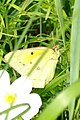 Orange Sulphur (Colias eurytheme) - Thunder Bay, Ontario.jpg