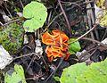 Orangeroter Becherling (Aleuria aurantia).jpg