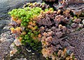 Orangeroter Kammpilz-Phlebia radiata (cropped).jpg