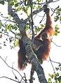 Orangutan (36940839875).jpg
