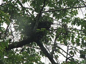 Nest-building in primates - Orangutan nest.
