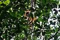 Orangutan Tapanuli 01.jpg