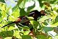 Orchard Oriole (male) Sabine Woods High Island TX 2018-04-26 11-08-38 (42090606491).jpg