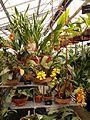 Orchidées dans une serre du jardin du Luxembourg.jpg