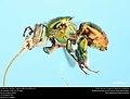 Orchid bee (Apidae, Euglossa flammea (Moure)) (36849411941).jpg