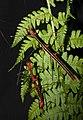 Oreophoetes peruana - pair 1.jpg