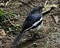 Oriental Magpie Robin (7071374839).jpg
