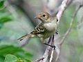 Oriole, Orchard, juvenile Puerto Rico2.jpg
