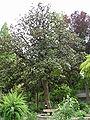 OrtoBotPadova Magnolia grandiflora.jpg