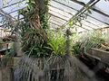Orto botanico, fi, serretta bromeliacee 01.JPG