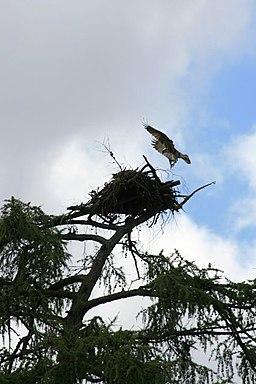 Osprey Nest, Loch Insh - geograph.org.uk - 530184