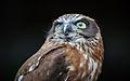 Owls @ Dragonheart, Enschede (9546626227).jpg