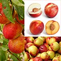 Owoce Nektarynka.jpg