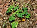Oxalis corniculata.jpeg