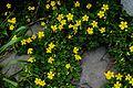 Oxalis corniculata at Jeju.jpg