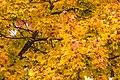 Pörtschach 10.-Oktober-Straße Ahornbaum Blattwerk 10112019 7327.jpg