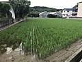 Paddy fields near Hikitabashi Bridge.jpg
