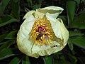 Paeonia mlokosewitschii 2016-05-09 9702.jpg