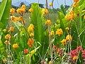 Pajaritos (Epidendrum ibaguense) (16094438460).jpg