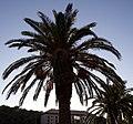Palm tree (4065524795).jpg