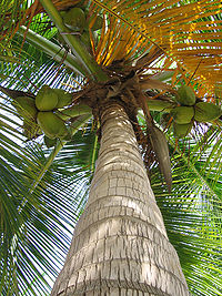 A coconut palm tree in Curaçao.
