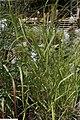 Panicum virgatum Rotstrahlbusch 1zz.jpg