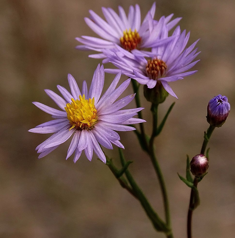 Panonski zvezdan - Tripolium pannonicum - cvet