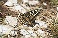 Papilio machaon, Reculet - img 14243.jpg
