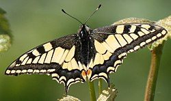 Papilio machaon Ellhofen 20070519 Detail.jpg