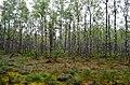 Papušynio miškas, pelkė.JPG