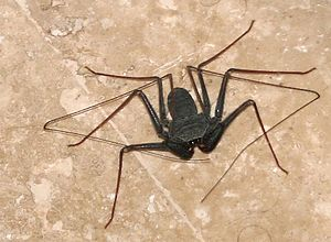 300px Paraphrynus sobre el m%C3%A1rmol Is it a spider?  Is it a scorpion? What is it?
